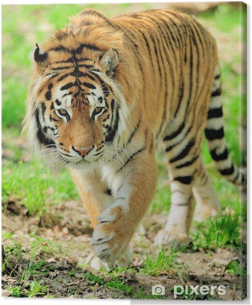 Leinwandbild Tiger - Säugetiere