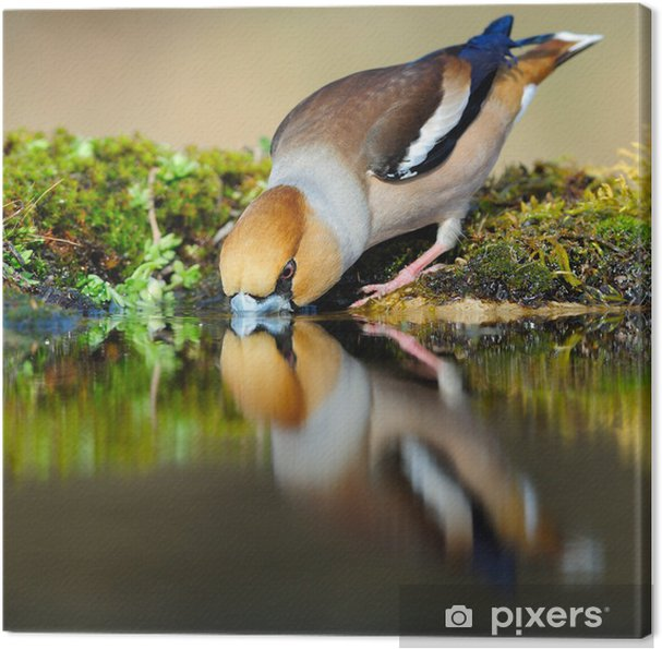 Leinwandbild Trinken hawfinch reflektiert in Wasser - Themen