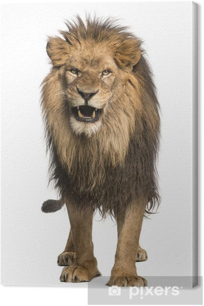 Leinwandbild Vorderansicht eines brüllenden Löwen, stehend, Panthera Leo - Säugetiere