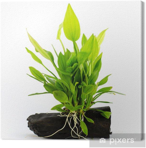 Leinwandbild Wasserpflanze auf weißem Hintergrund - Pflanzen