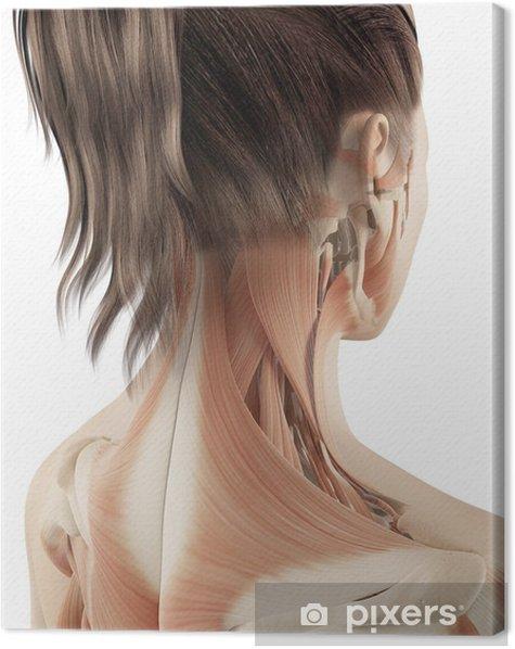 Leinwandbild Weibliche Muskulatur des Halses - Gesundheit & Medizin