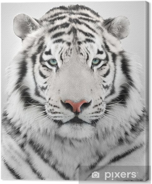 Leinwandbild Weiße Tiger
