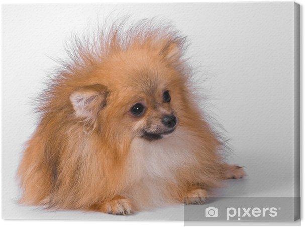 Leinwandbild Welpe Der Brut Ein Pomeranian Spitz Hund Im Studio