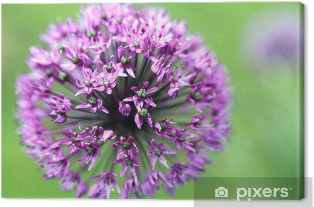 Leinwandbild Zierlauch - Star of Persia - Allium christophii - Blumen