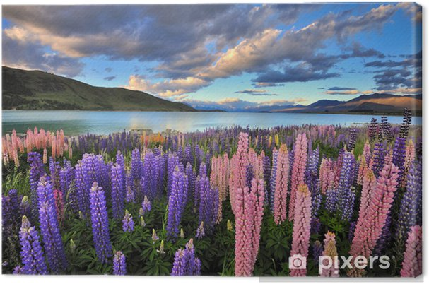 Lerretsbilde Lupiner på kysten av Lake Tekapo, New Zealand -