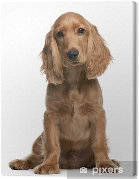 Obraz na plátně Anglický kokršpaněl štěně beefe4b71d