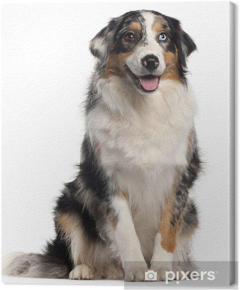 Obraz na plátně Australský ovčák pes 560fbe0181