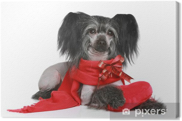 Obraz na plátně Black Čínský chocholatý pes v červeném šátku - Mezinárodní svátky