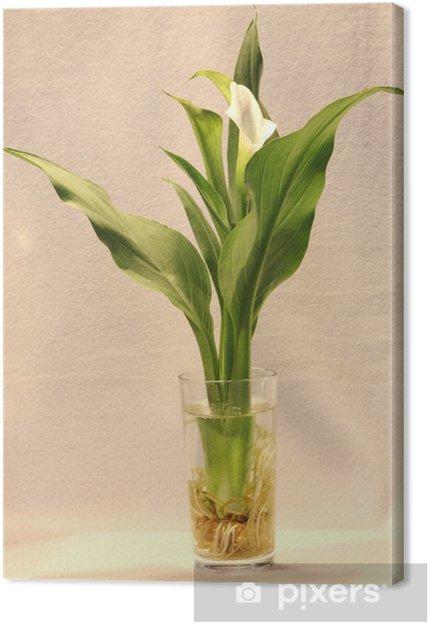 Obraz na plátně Calla - Květiny