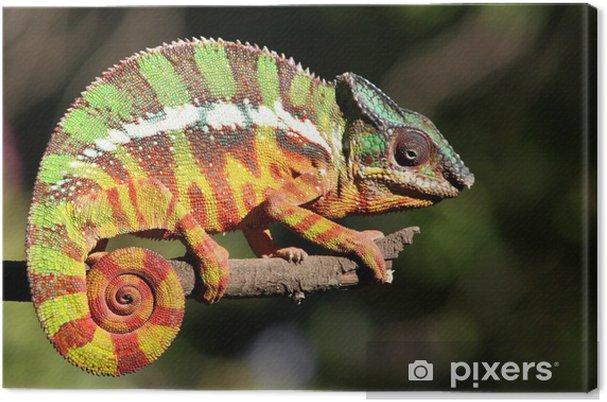 Obraz na plátně Chameleon 01.2 - Témata
