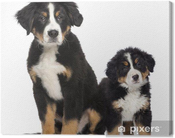 cf88b9ea1cd Obraz na plátně Dvě mladé Bernský salašnický pes