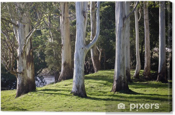 Obraz na plátně Eucalyptus kmeny v měkkém odpoledním světle. Tasmánie, Austrálie - Oceánie
