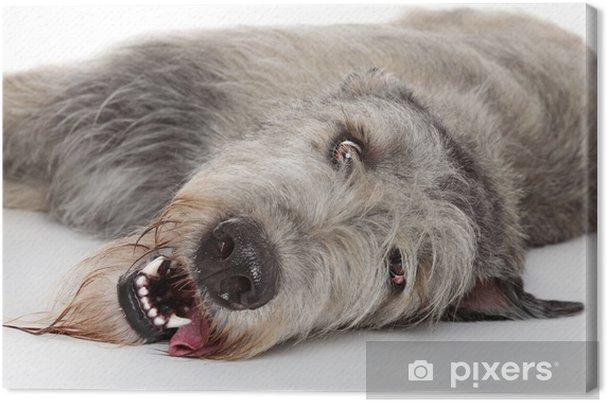 Obraz na plátně Irský vlkodav pes • Pixers® • Žijeme pro změnu 210a0db75c