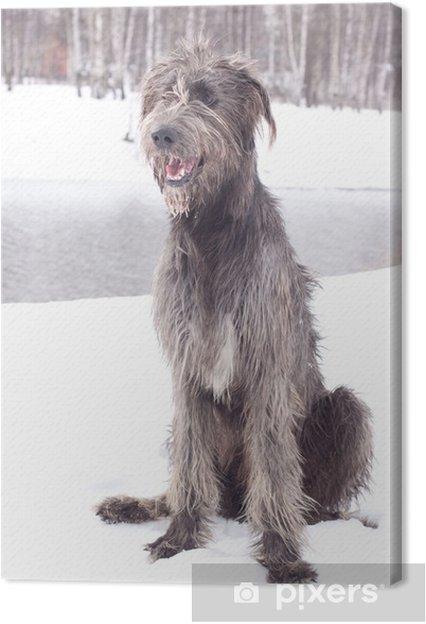 Obraz na plátně Irský vlkodav • Pixers® • Žijeme pro změnu 857b37000b