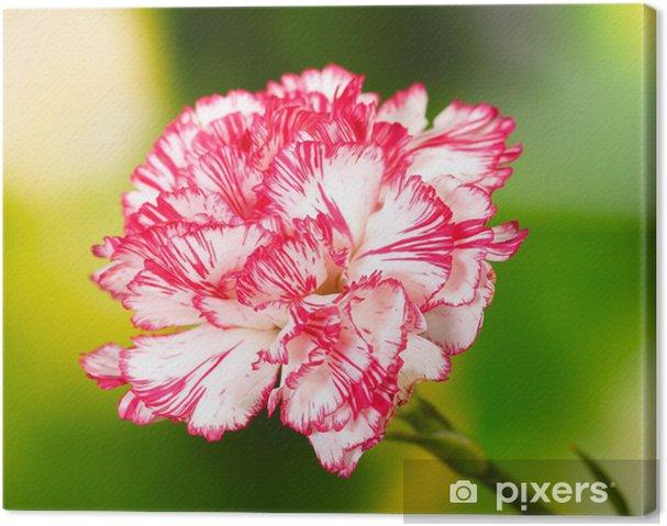 Obraz na plátně Krásná karafiát na zeleném pozadí - Květiny