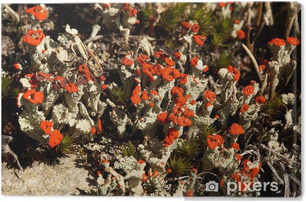 Obraz na plátně Lišejník Cladonia coccifera - Rostliny