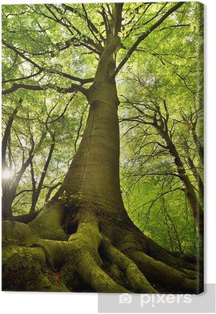 Obraz na plátně Old Beech Tree -