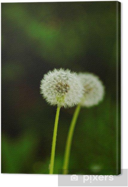 Obraz na plátně Pampeliška květ - Roční období
