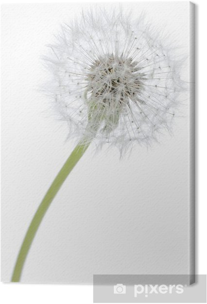 Obraz na plátně Pampeliška - Květiny