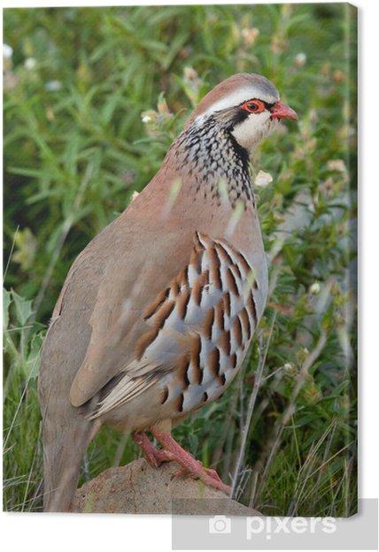 Obraz na plátně Perdiz - Ptáci