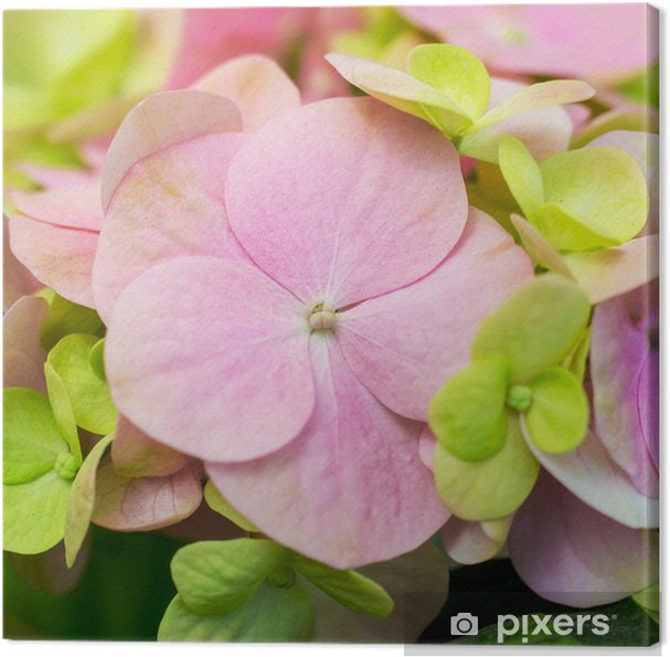 Obraz na plátně Pink Hydrangea - Domov a zahrada
