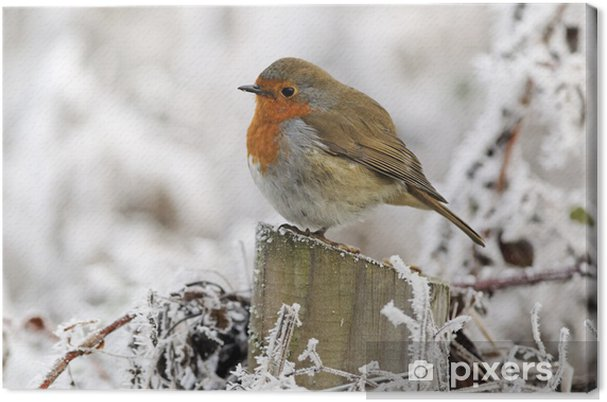 Obraz na plátně Robin (Erithacus rubecula) - Ptáci