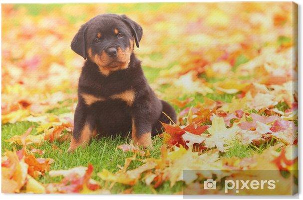 Obraz na plátně Rotvajler štěně sedí na podzim listí • Pixers ... dbf239c827