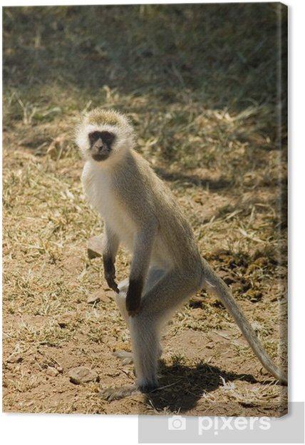Obraz na plátně Samango (modrá opice) -8 - Afrika