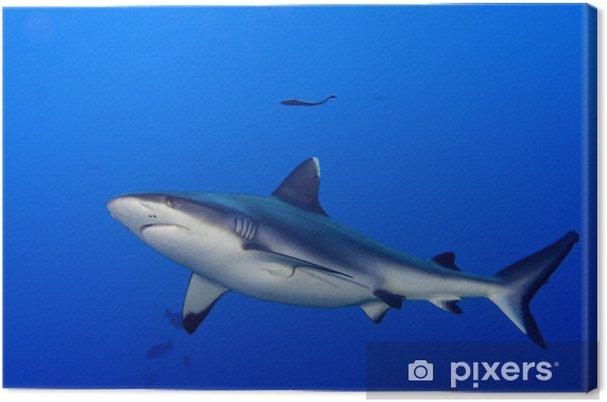 55dc6d7621a Obraz na plátně Šedý žralok čelisti připravené k útoku pod vodou zblízka  portrét - Žraloci