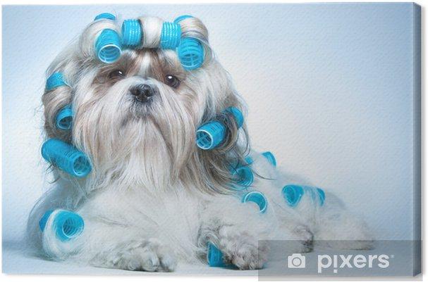 Obraz na plátně Shih tzu pes - Témata
