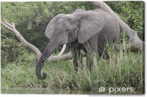 Obraz na plátně Slon africký v Kazinga Channel - Témata