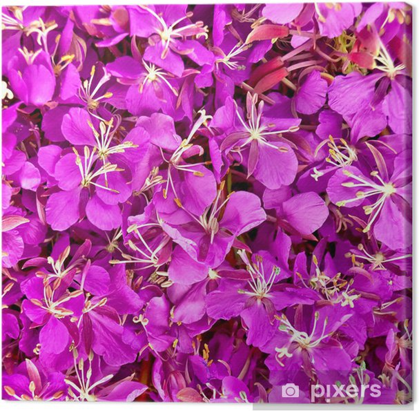 Obraz na plátně Textura z květů fireweed - Struktury