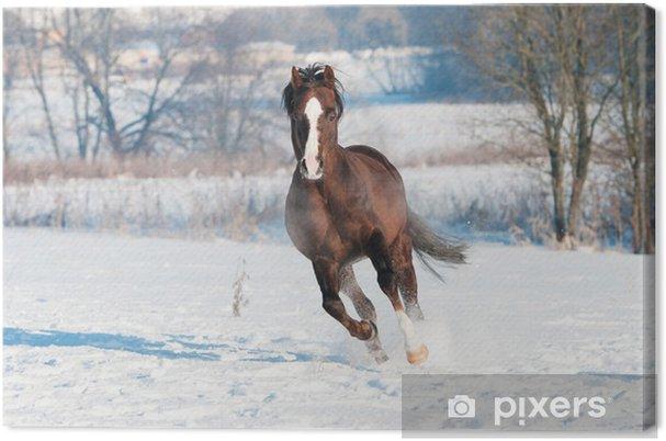 Obraz na plátně Welsh hnědý pony hřebec běží tryskem vpředu - Individuální sporty