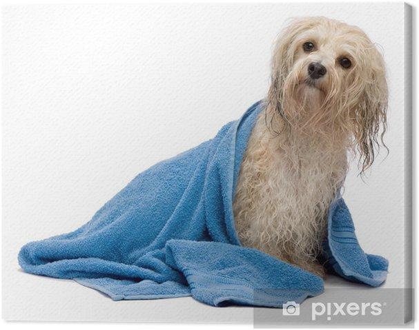 Obraz na plátně Wet krém Havanese pes po koupeli - Životní styl, péče o tělo a krása