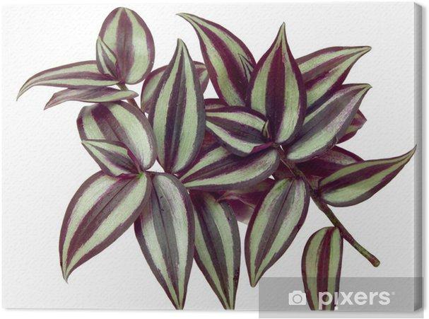 Obraz na plátně Zelené a fialové, zářivé listy Tradescantia - Rostliny