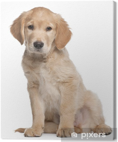 Obraz na plátně Zlatý retrívr štěně bbacd1b205