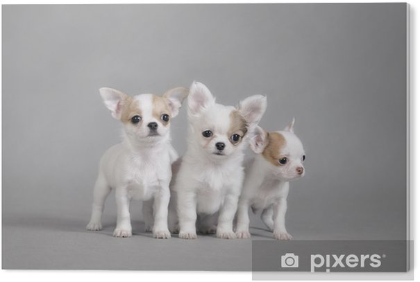Obraz na Pleksi Chihuahua szczenięta portret - Ssaki