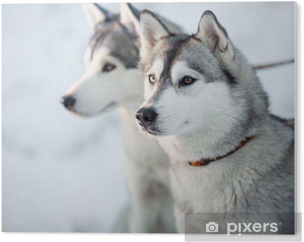 Obraz na Pleksi Dwa siberian husky psy portret zbliżenie - Psy
