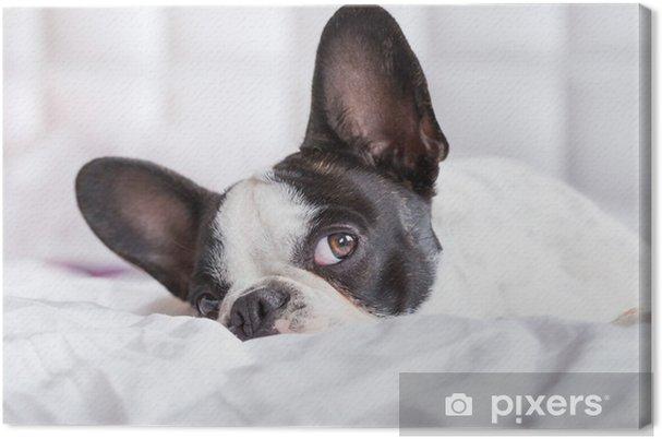 Obraz na płótnie Adorable Buldog francuski puppy leżącego w łóżku - Buldogi francuskie