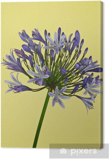 Obraz na płótnie African Lily (Agapanthus) - Kwiaty