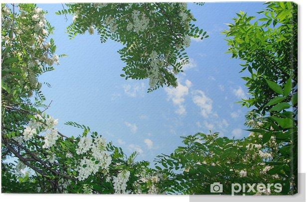 Obraz na płótnie Akacja - Niebo