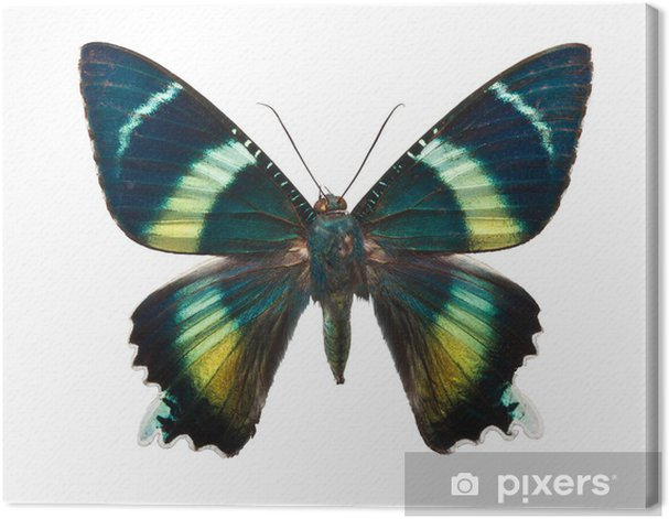 Obraz na płótnie Alcides argathyrsus motyl - Inne Inne
