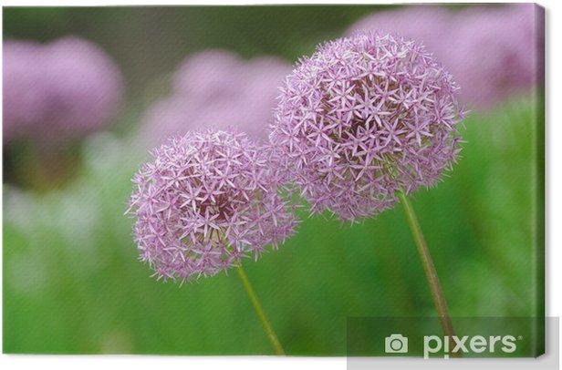 Obraz na płótnie Allium Kwiat lub Fioletowy Globe - Kwiaty