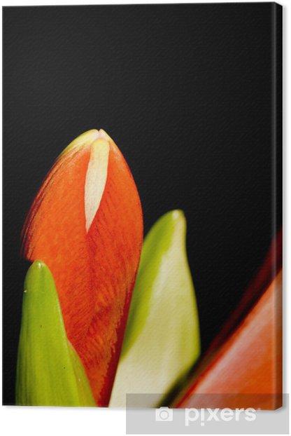 Obraz na płótnie Amarylis (Hippeastrum sp.). Kwiat na czarno. - Pory roku