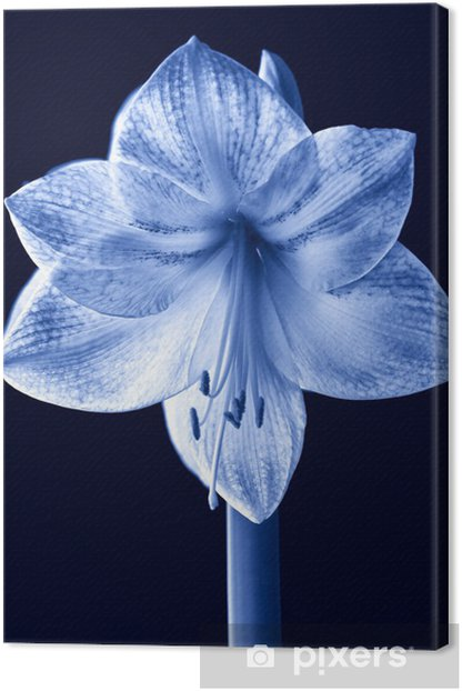 Obraz na płótnie Amarylis - Kwiaty