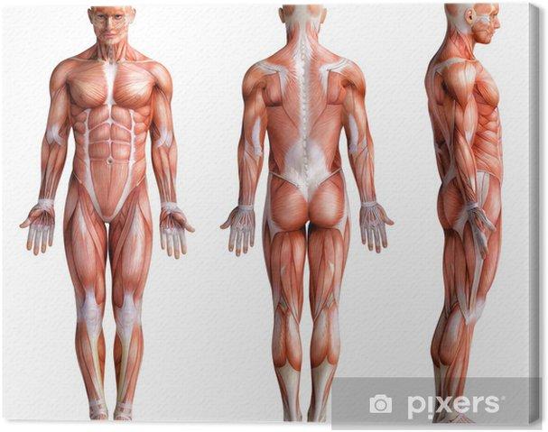 Obraz na płótnie Anathomy - Zdrowie i medycyna