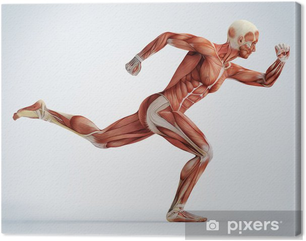 Obraz na płótnie Anatomia, mięśni - Tematy