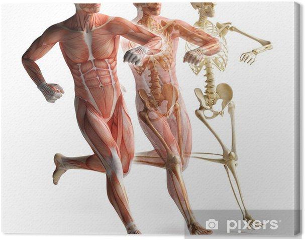 Obraz na płótnie Anatomia, mięśni - Zdrowie i medycyna