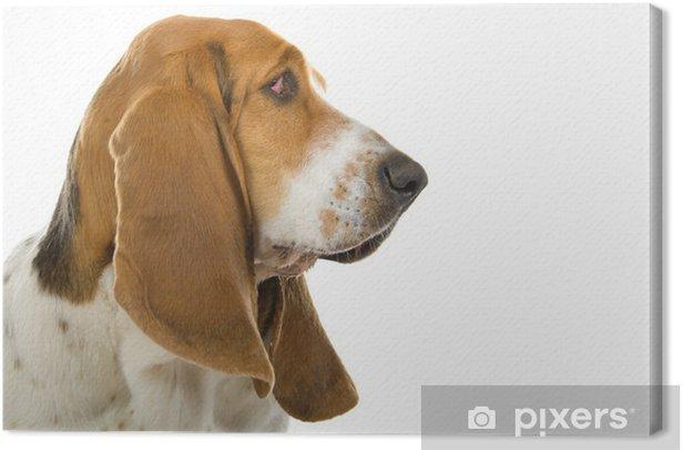 Obraz na płótnie Angielski basset psa (pies) na białym - Ssaki