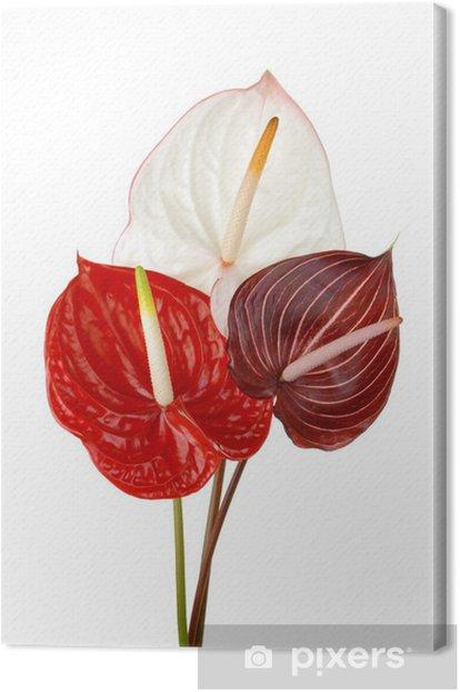 Obraz na płótnie Anthurium 4 - Kwiaty